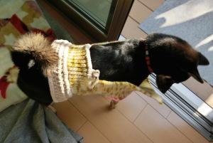 製作中のセーターを試着する黒柴ルイ