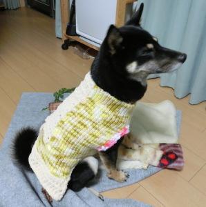 完成したセーターを試着する黒柴ルイ