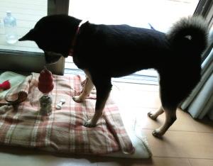 ペットボトルいっぱいに入ったおやつを食べる黒柴ルイ