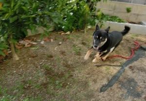 庭を駆け回る黒柴ルイ