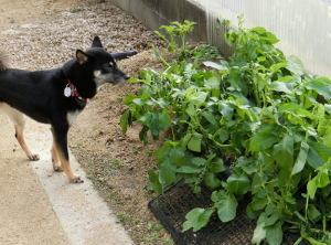 ジャガイモ畑と黒柴ルイ