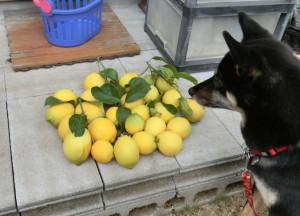 収穫したレモンと黒柴ルイ