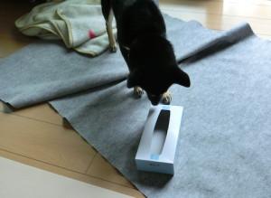 ティッシュの箱の中を確認する黒柴ルイ