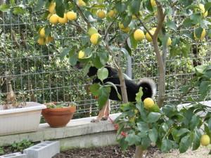レモンの木でかくれんぼする黒柴ルイ