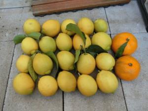 収穫したレモンとみかん