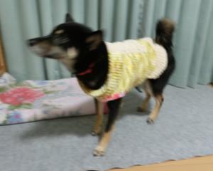 手編みのセータを着る黒柴ルイ
