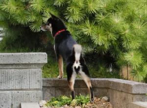 花壇を踏んづけて外を見る黒柴ルイ