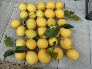 収穫したレモン30個