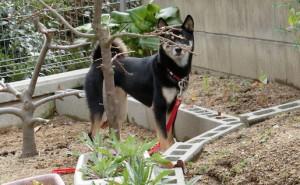 葉っぱの落ちた柿の木に隠れる黒柴ルイ