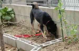 ジャガイモ掘りに飽きてお庭探索を始めた黒柴ルイ