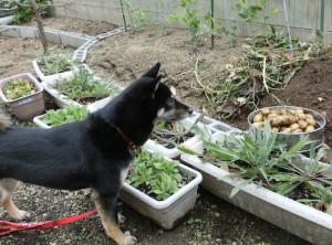 収穫したジャガイモと黒柴ルイ