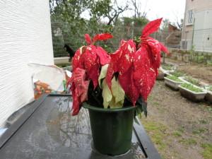 葉っぱが萎れたポインセチア