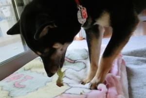 レタスの葉っぱをむしゃむしゃ食べる黒柴ルイ