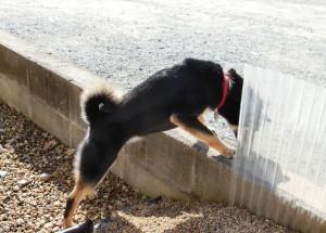 ブロック塀から下を覗き込む黒柴ルイ