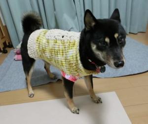 サイズ補整したセーターを着る黒柴ルイ