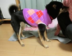 サイズ直ししたセーターを着る黒柴ルイ