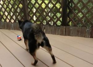 新しいボールを追いかける黒柴ルイ
