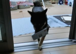 空箱を拾ってきた黒柴ルイ