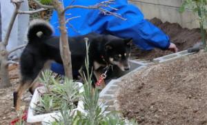 種芋を植え付けるお母ちゃんの側を離れない黒柴ルイ