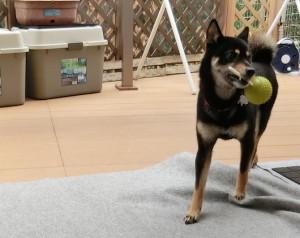 棒ガムの刺さったテニスボールで遊ぶ黒柴ルイ