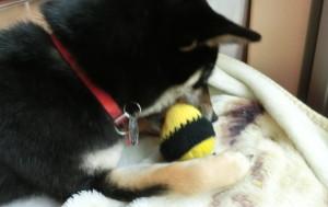 カバーを被せたニコちゃんボールと黒柴ルイ