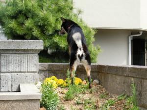 花壇を踏んでるけど、ハートのお尻がキュートな黒柴ルイ