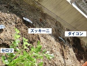 セロリの苗と大根とズッキーニの種付け