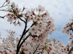 近所の花見大会で撮影した桜