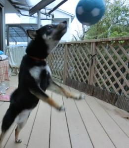 サッカーボールで遊ぶ黒柴ルイ