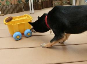 砂場遊びのワゴン車に恐る恐る近づく黒柴ルイ