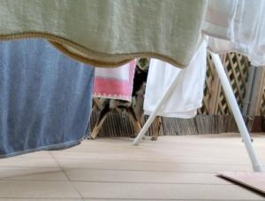 洗濯物の陰に隠れる黒柴ルイ