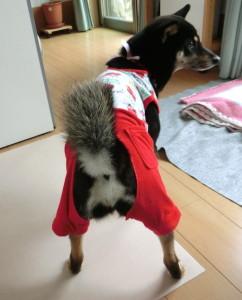 新しいパジャマを着た黒柴ルイ(後ろ姿)