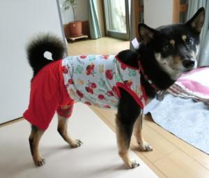 新しいパジャマを着た黒柴ルイ(横向き)