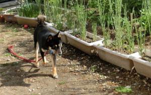 お庭を探索する黒柴ルイ