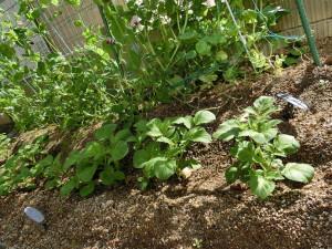 ジャガイモと赤エンドウの畑