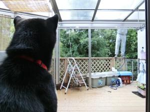 雨樋の掃除をしているところを観察する黒柴ルイ