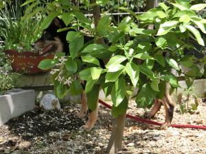 木陰に逃げ込む黒柴ルイ