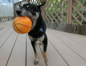 ボールの皮を被った風船で遊ぶ黒柴ルイ