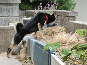 花壇に乗り出して枯れたお花をクンクンする黒柴ルイ