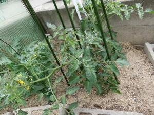 枝を四方八方に伸ばすトマト