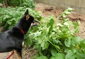 赤エンドウが抜かれた後の畑を覗き見る黒柴ルイ