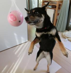後ろ足で立ち上がってボールをクンクンする黒柴ルイ