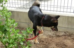掘り起こしたあとのジャガイモ畑に侵入する黒柴ルイ