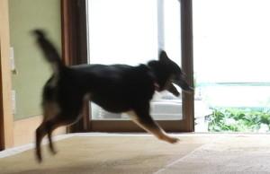 部屋の中を走り回る黒柴ルイ
