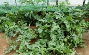 蔓が伸び放題のスイカ畑と真ん中に唐辛子