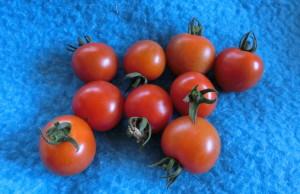 収穫したプチトマト