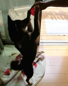 黒柴ルイとコング (Kong) スクイークス ボール
