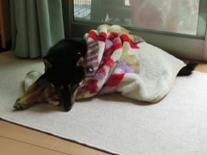 毛布に包まれた黒柴ルイ