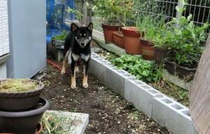 庭の隅でいじける黒柴ルイ
