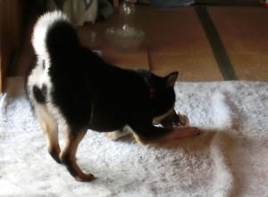 靴下をおもちゃにする黒柴ルイ